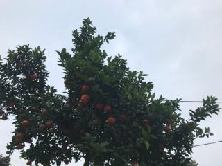 冬橘一种冬天