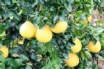 微商卖柚子广告语微信朋友圈推销柚子怎么发广告宣传语文案